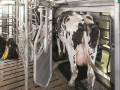 DairyFarming_MIone_MilkingSystem_CowEntering_2014_tcm11-13527 (1)